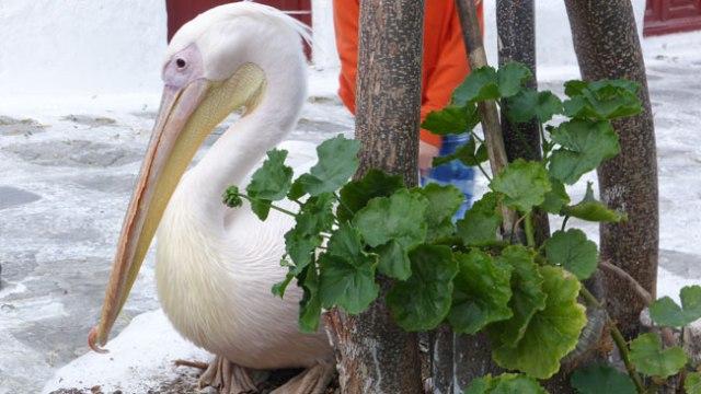 El pelikn Petrus va morir, però un descendent seu jeu en una placeta amagada de Miconos