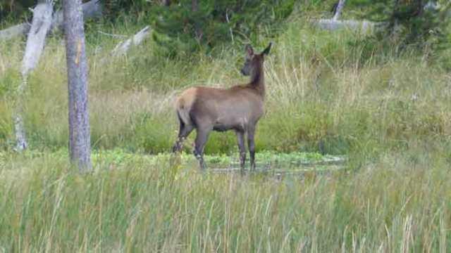 Norris. Mule deer