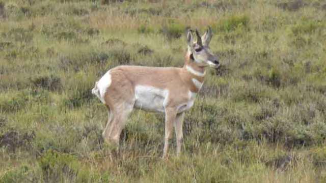Mule deer. Bryce Cannyon