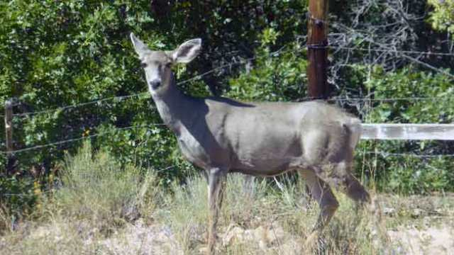 Black Cannyon of Gunnison. Mule deer