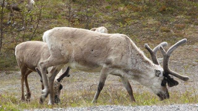Un 18% de samis es dedica a la curra de rens