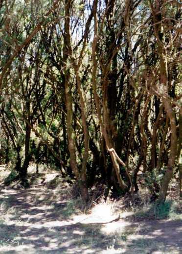 La Gomera. Bosc de laurisilva