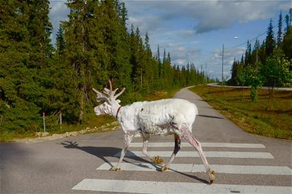 Ren. Parc de Phta Luosto. Finlàndia.