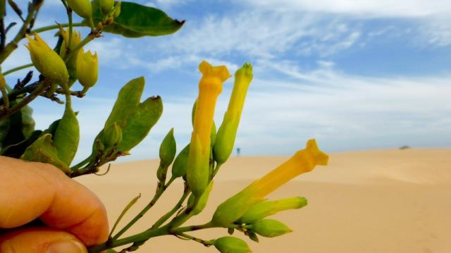 Flors de tabaco moro. Parc Dunes Corralejo. Fuerteventura