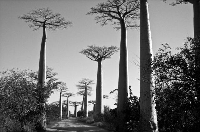 Baobabs. Madagascar