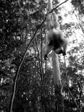 Lemur. Madagascar