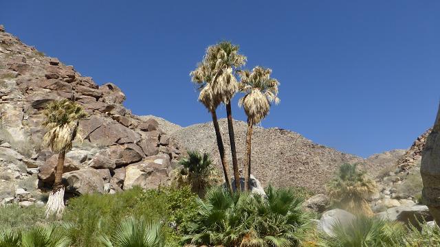 Borrego Palm Canyon. Desert Anza Borrego. Oasi