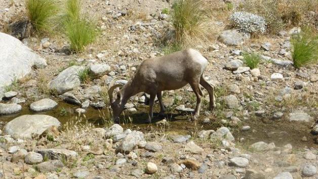 Muflons bevent aigua. Borrego Palm Canyon