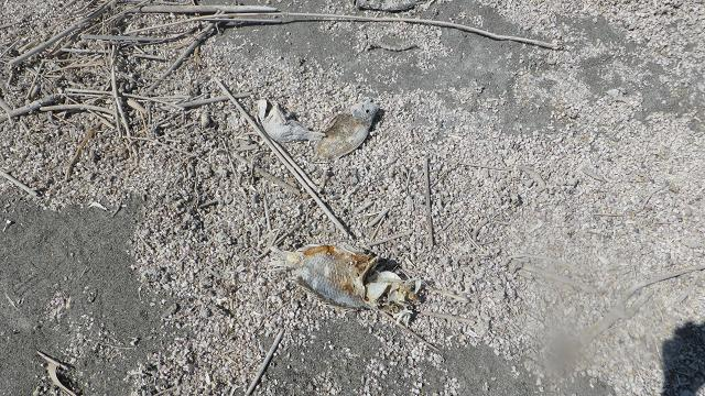 Salton Sea. Peixos morts
