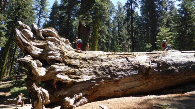 Mariposa Grove. Yosemiti. Sequoia gegant caiguda