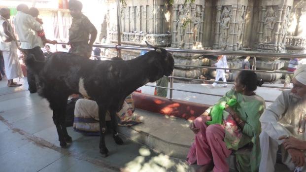 Kamakhya temple Guwahati. Animals per sacrificar