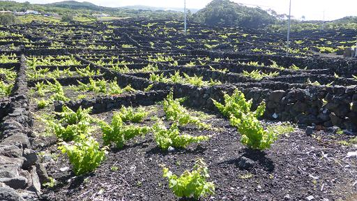 vinyes criaçao velha pico