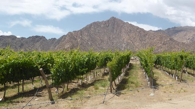 Cafayate vinyes