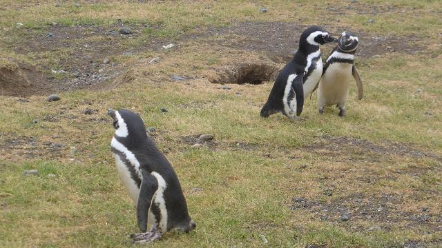 Illa Magdalena. Pingüins