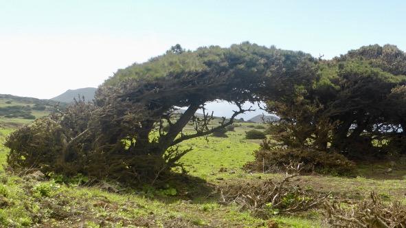 Sabinar el Hierro. Canarias