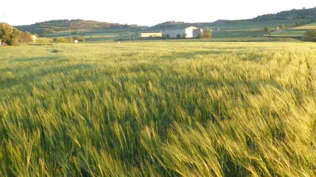 Cereals, cultiu típic de la Segarra